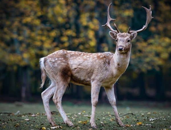 Image of roe deer