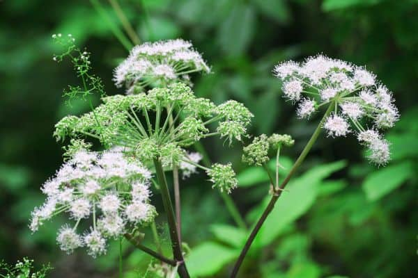Image of an angelica plant
