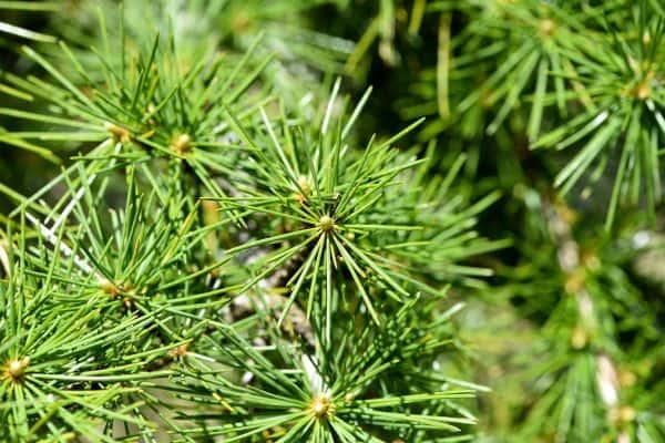 Image of cedar foliage