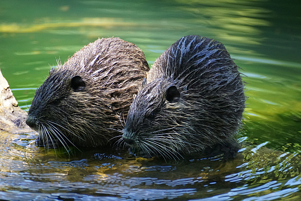 Why is perfume not vegan? Beavers
