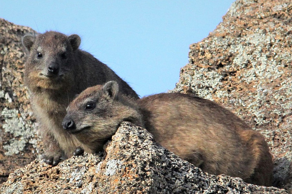 Why is perfume not vegan? Two hyrax