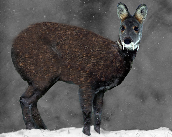 Why is perfume not vegan? Musk deer.