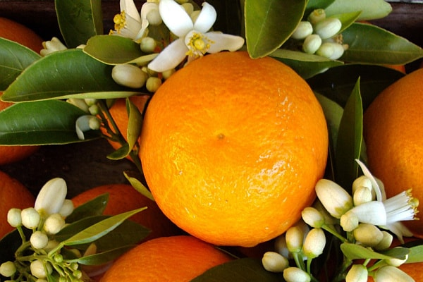 What fragrance smells like orange blossom? Bitter orange tree closeup
